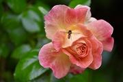 30th Jun 2021 - Resilient Rose