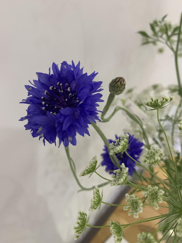 2021 06 30 - cornflower by pixiemac