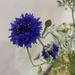2021 06 30 - cornflower