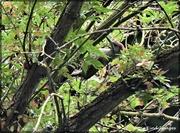 30th Jun 2021 - Green woodpecker
