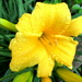 My day lilies are in bloom
