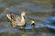 30th Jun 2021 - Mom and Her Tiny Duckling