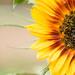 Sunflower by newbank