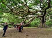 27th Jun 2021 - Wollaton Park oak