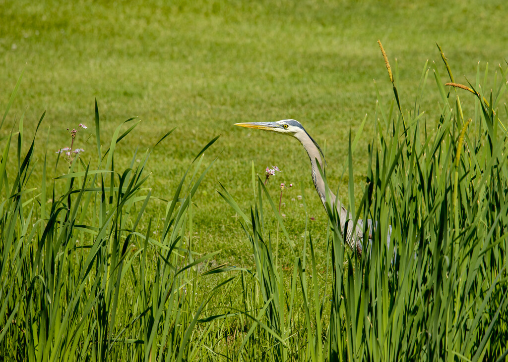 Great Blue Heron by sprphotos