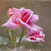 Pretty in Pink by gardencat