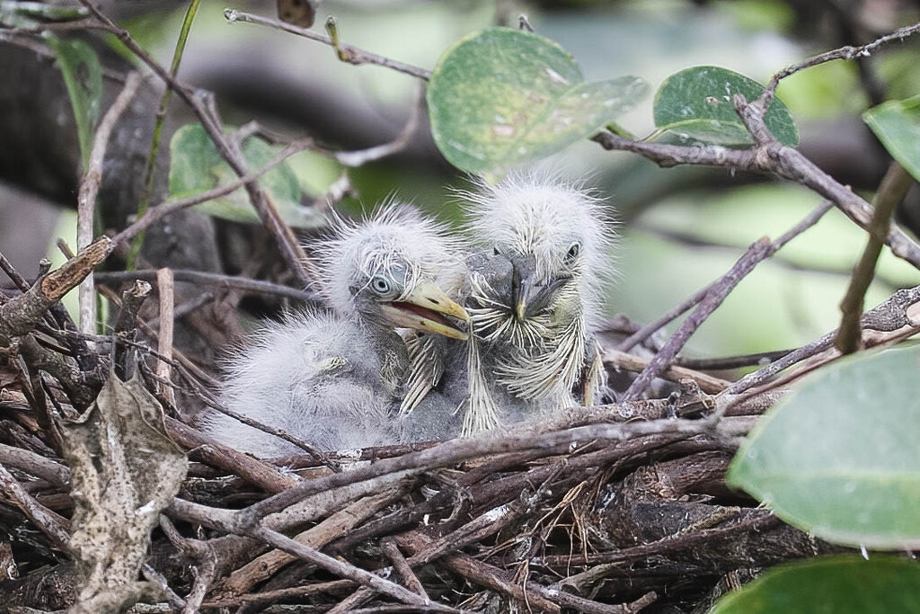 Hot, sweaty and messy cattle egret fledglings   by dutchothotmailcom