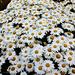 the lazy daisy days of summer, a haiku by summerfield