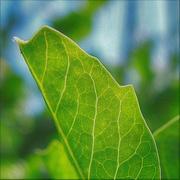 16th Jun 2021 - Pea leaf (macro)