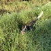 Flynn just loves the chance to run through long grasses