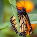 Old Monarch by kvphoto