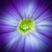 Petunia by cdcook48