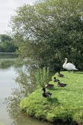 2nd Jul 2021 - 5 ducks and a swan