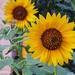 Sunflowers by evgeniamsk