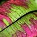 Sorrel leaf