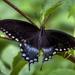 Spicebush Swallowtail by kvphoto