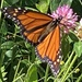 Monarch Butterfly  by radiogirl