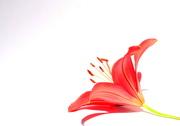 2nd Jul 2021 - Lilies make the best lilies.