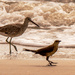 The Willet and Friend Walking Down the Beach! by rickster549