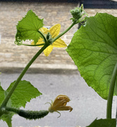 3rd Jul 2021 - The life of a cucumber