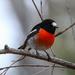 Scarlet robin by flyrobin