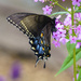 Tiger Swallowtail by k9photo