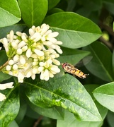 14th Jun 2021 - Hoverfly hovering