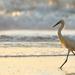 Snowy egret strolling along the beach.  by dutchothotmailcom
