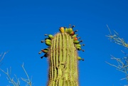 4th Jul 2021 - Saguaros don't normally bloom like this