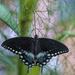 Spicebush Swallowtail by k9photo