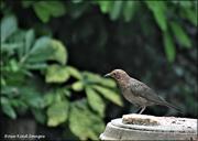 4th Jul 2021 - Young blackbird