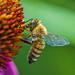 Bee by kvphoto