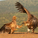 The Tawny eagle and the vulture by mv_wolfie
