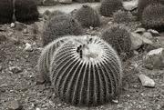 5th Jul 2021 - barrel cactus