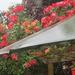 Roses brightening a rainy day
