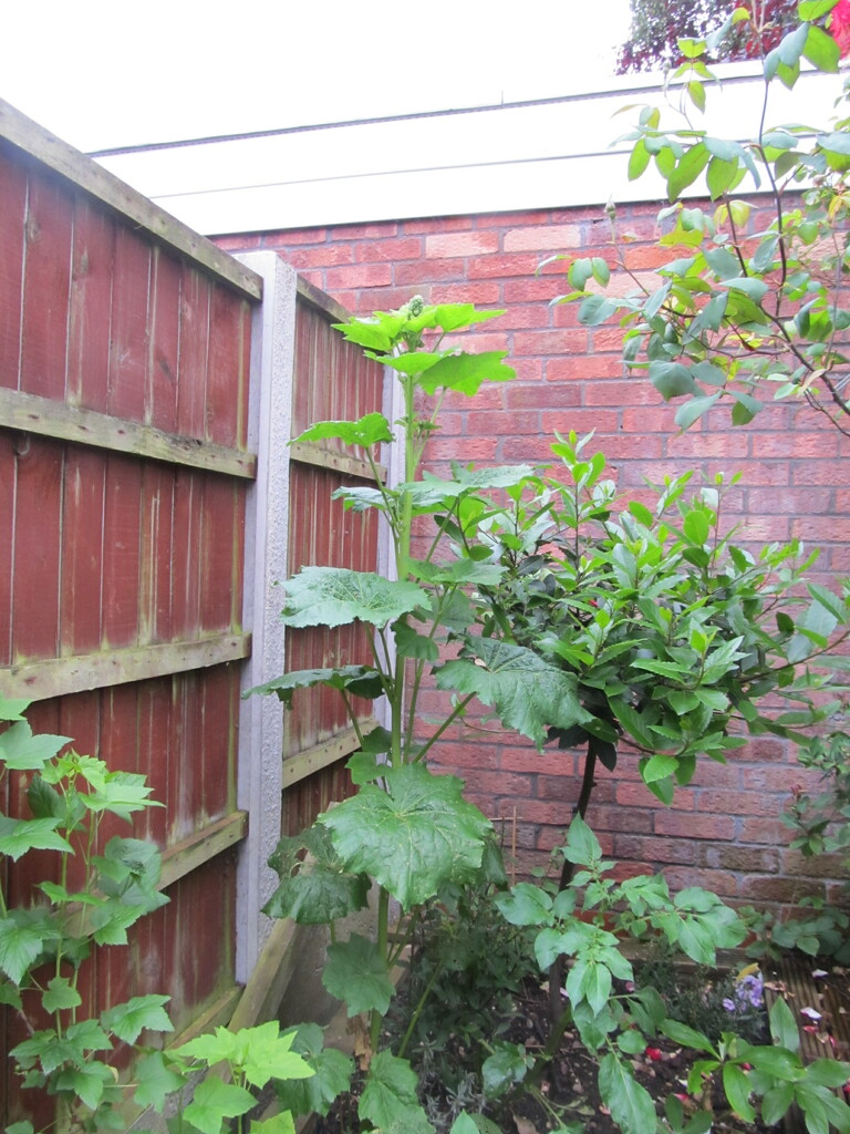 Reaching the top of the fence by speedwell