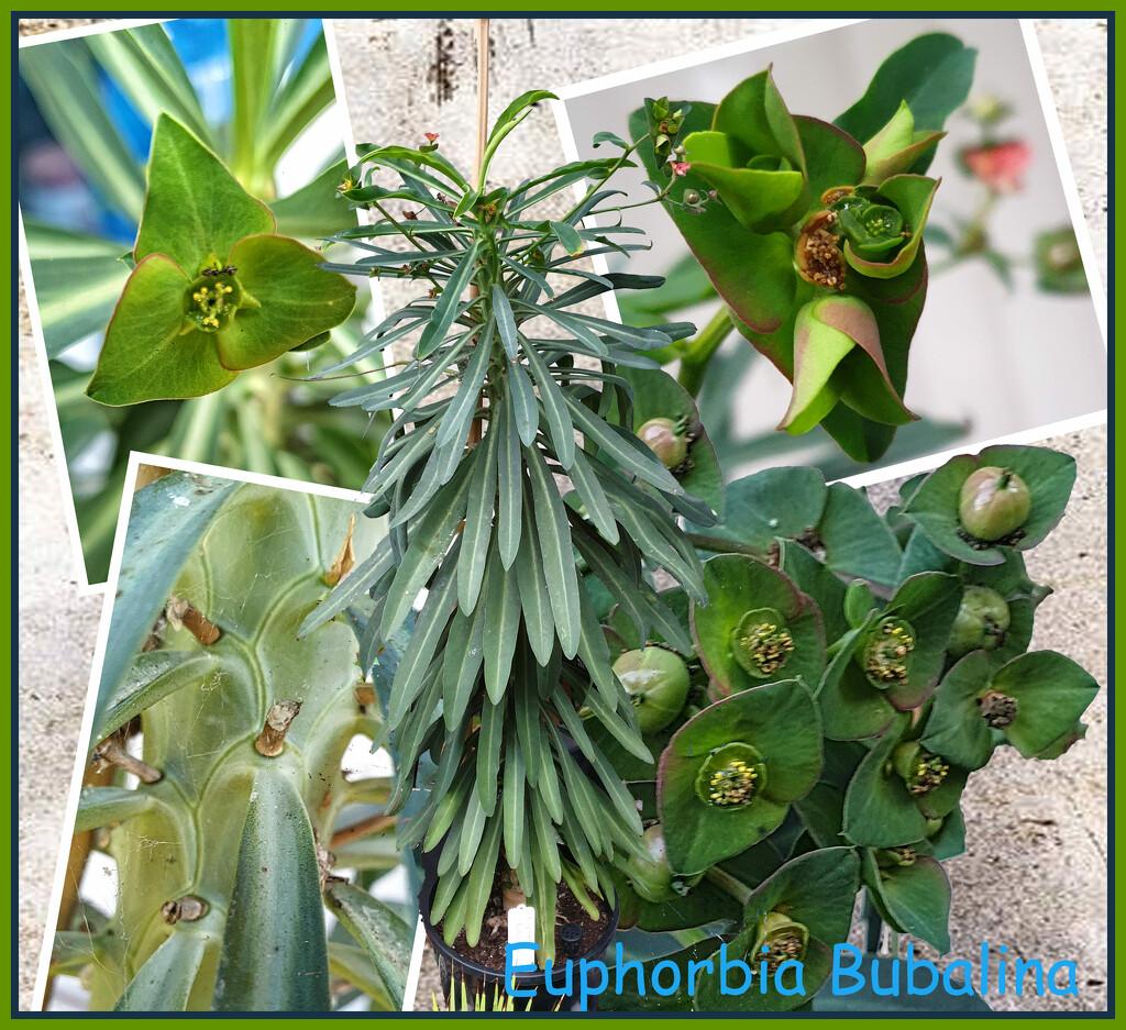 Euphorbia Bubalina by annied
