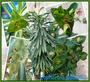2nd Jul 2021 - Euphorbia Bubalina