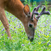 White-tail deer  by novab