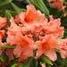 Rhododendron in the Garden 8