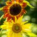Sunflowers by kvphoto