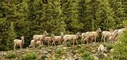5th Jul 2021 - Big Horn Sheep
