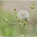 Sow Thistle by gardencat
