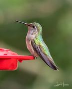 3rd Jul 2021 - Hummingbird