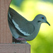 Big Excitement - White-winged Dove at my feeders by annepann