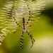 Yellow Garden Spider by rickster549