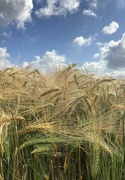 6th Jul 2021 - Among the fields of barley
