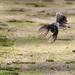 Fantail flight by flyrobin