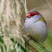 Red browed finch by flyrobin
