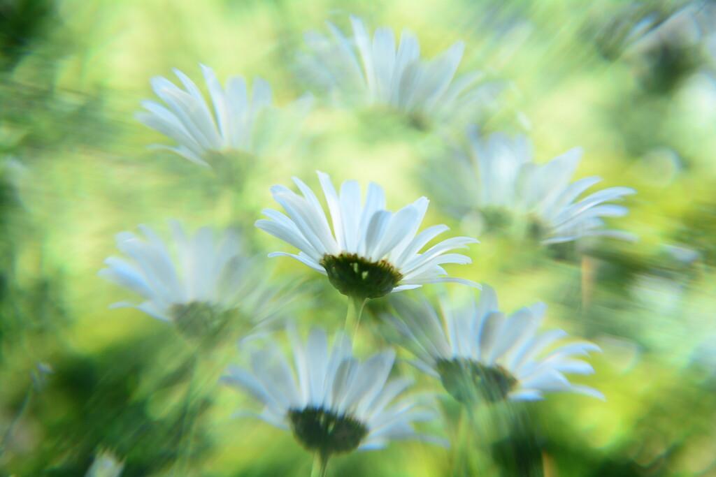 Dreamy daisies..... by ziggy77